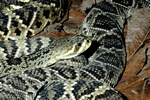 Diamondback rattlesnake (Crotalus adamanteus)